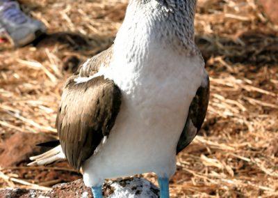 głuptaki na galapagos, ptaki o niebieskich nogach