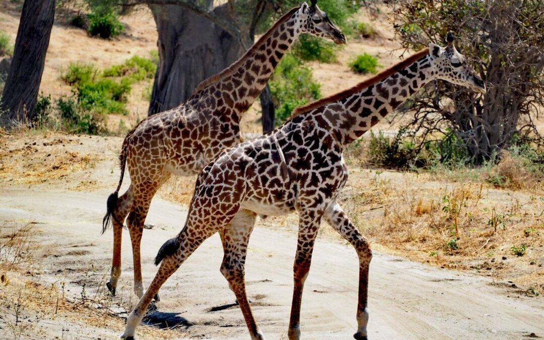 Safari w Tanzanii, Wielka Migracja i wypoczynek na Zanzibarze