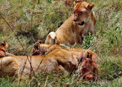 Lwy safari w Afryce Wielka Piątka
