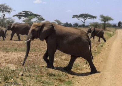 słonie na safari w Afryce