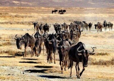 stado gnu na safari wyprawa Afryka Tanzania