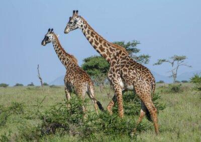 safari w Afryce Tanzania żyrafy