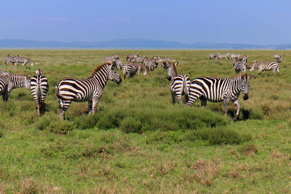 Klimat zmienia Wielką Migrację Zwierząt. Gdzie ich szukać w Serengeti i Masai Mara?
